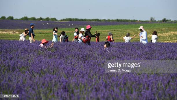 People walking amongst rows of lavender in full bloom on June 27, 2018 in Valensole, France. Covering approximately 800 square kilometres, the...