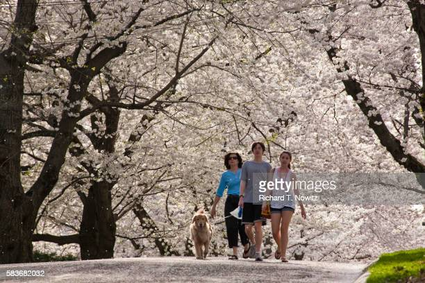 People walking beneath cherry blossoms