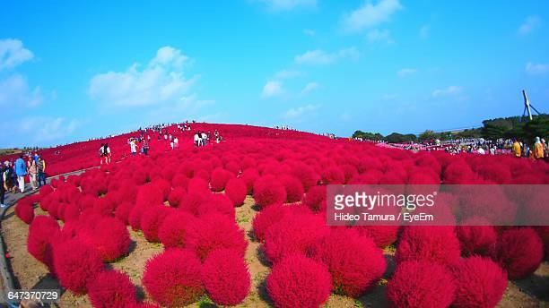 People Walking By Bassia Scoparia At Hitachi Seaside Park