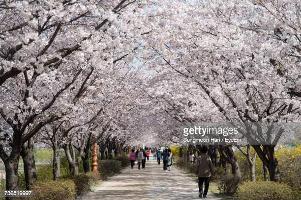 People Walking On Footpath Amidst Cherry Blossom Trees