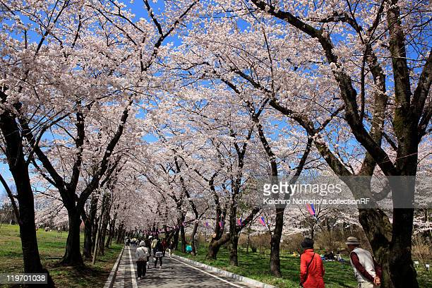 people walking under cherry blossom trees - maebashi city stock photos and pictures