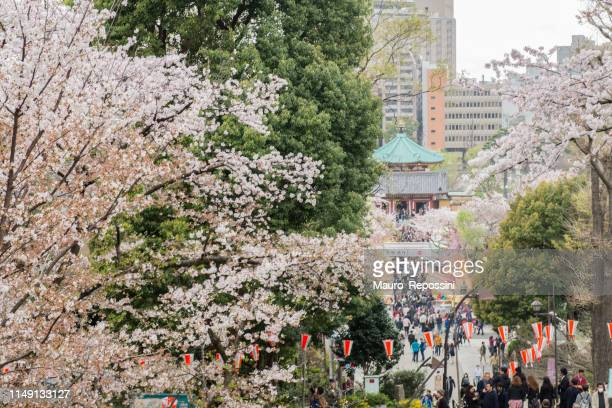 people walking under the trees during the cherry blossom season in the ueno park at the taito ward in tokyo city, japan. - ueno park stock photos and pictures