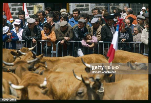People watch a crowd of cattle during transhumance, the movement of livestock with the changing of the seasons. | Location: Aubrac, France.