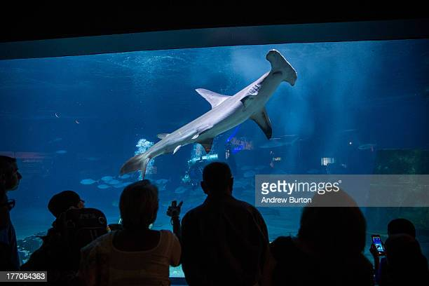 People watch a hammerhead shark swim at Adventure Aquarium on August 20 2013 in Camden New Jersey The city of Camden which was once a large...