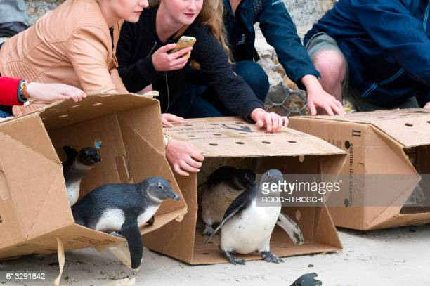 People watch as 15 African Penguins are released into the sea on October 8 in Simonstown about 30Km from the centre of Cape Town These penguins were...