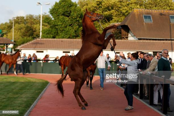 People watch as a thoroughbred foal rears during the Yearlings sales one of the world renowned annual thoroughbred sales in Deauville on August 19...