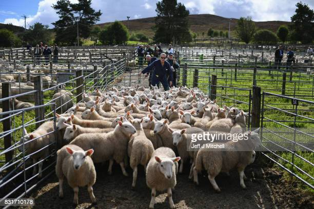People watch as sheep farmers gather at Lairg auction for the great sale of lambs on August 15 2017 in Lairg Scotland Lairg market hosts the annual...
