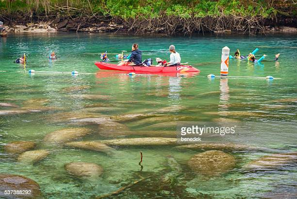 People Watch Group of Manatees in Crystal River Florida USA