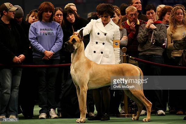 People watch on as a Great Dane is shown during the 132nd Annual Westminster Kennel Club Dog Show at Madison Square Garden February 12 2008 in New...
