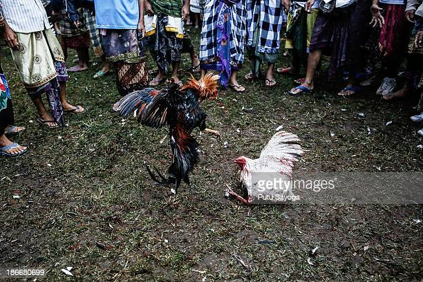 People watch rooosters fight each other during a cockfighting ritual on November 3 2013 in Kelusa Village Gianyar Bali Indonesia Cockfighting in Bali...