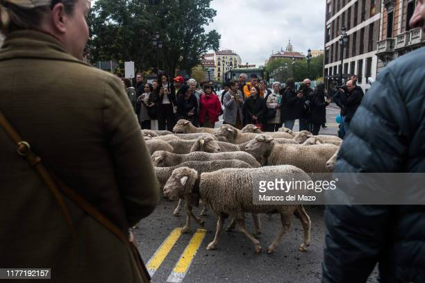 People watching flocks of sheep and goats crossing the city center during the annual transhumance festival. Shepherds guide 1800 sheep to promote the...