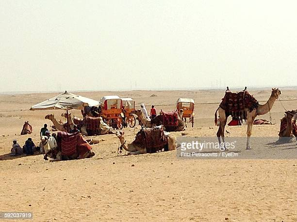People With Camels On Desert Against Clear Sky