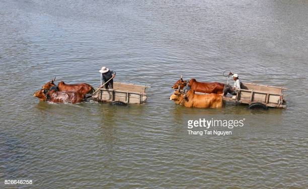 People with cow trolley in river in Ninh Thuan. Cow bathing