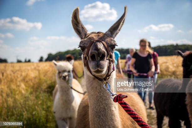 people with llamas on field - lama photos et images de collection