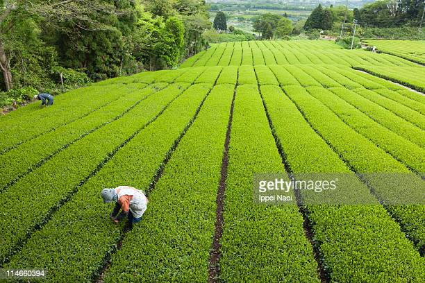 People working at green tea plantation in Japan