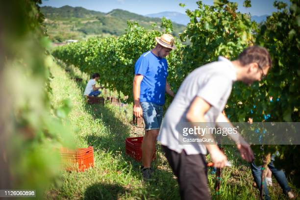 people working in vineyard during harvest - grape harvest stock pictures, royalty-free photos & images