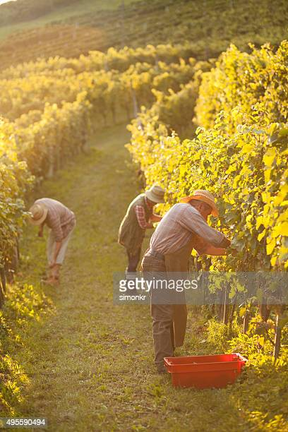 people working in vineyard - grape harvest stock pictures, royalty-free photos & images