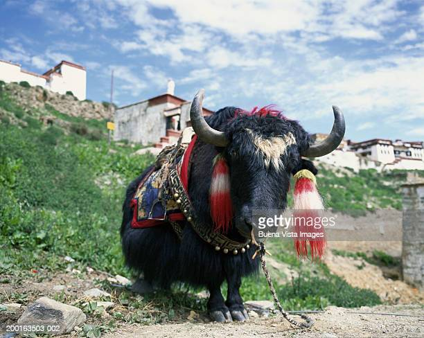 people's republic of china, tibet, yak - yak stock pictures, royalty-free photos & images