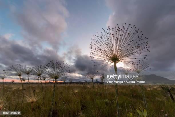 pepalantus plants at sunrise, chapada dos veadeiros, goias, brazil - cerrado stock pictures, royalty-free photos & images