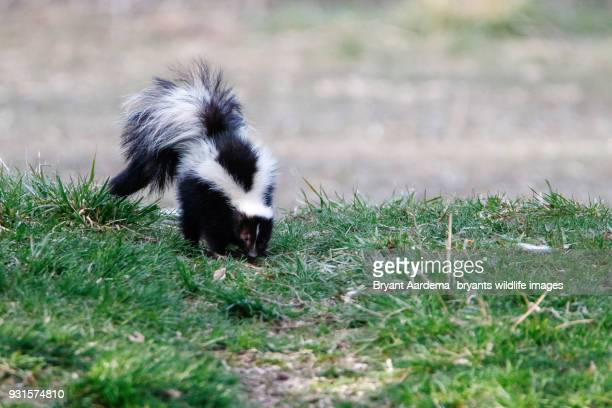 pepe le pew - skunk stock pictures, royalty-free photos & images