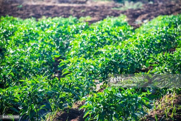 Pepper Field