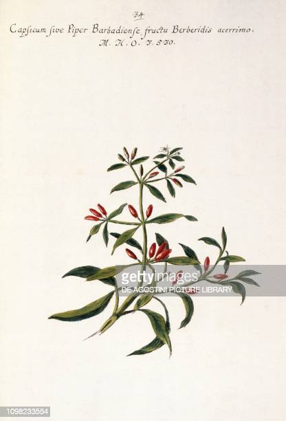 Pepper illustration from Hortulus botanicus pictus sive collectio plantarum by Giovanni Battista Morandi 1748
