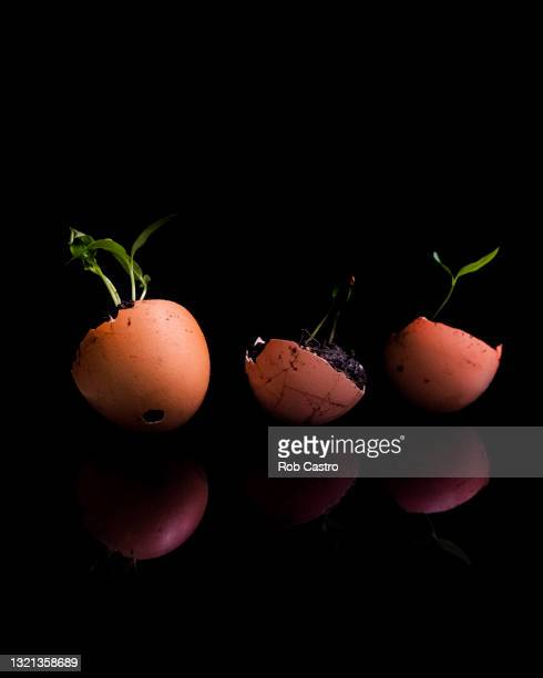 pepper seedlings in eggshells - rob castro stock pictures, royalty-free photos & images