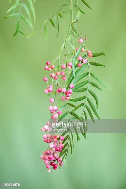 pepper tree berry cluster - pfeffer stock-fotos und bilder
