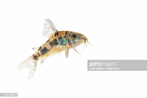 peppered cory catfish (corydoras paleatus) on a white background - leah wilde stock-fotos und bilder