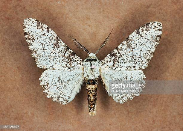 Peppered moth butterfly Geometridae