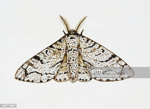 Peppered moth Geometridae Artwork by Tim Hayward