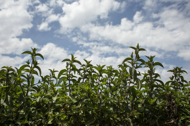 WA: A Peppermint Harvest And Peppermint Oil Production As Market Expects Steady Growth Prospects