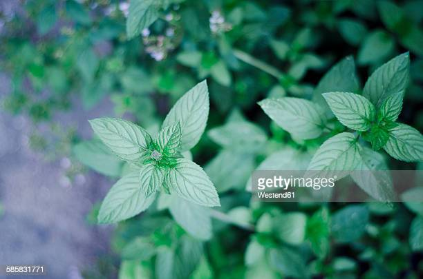 Peppermint, Mentha piperita, in garden, close-up