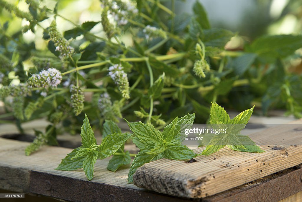 peppermint : Stock Photo