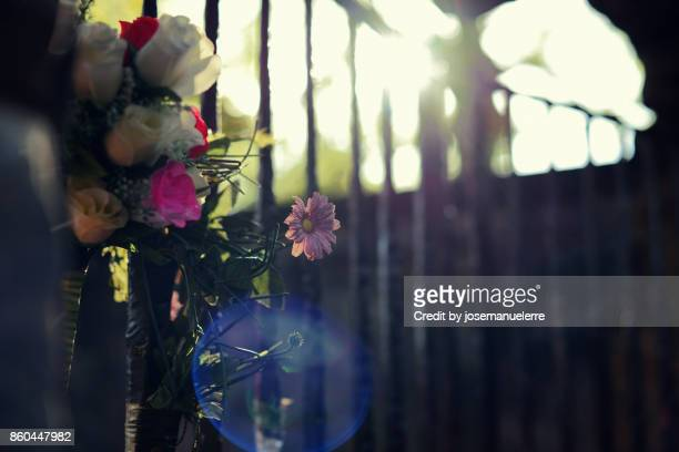 pequeña margarita rosa a contraluz - josemanuelerre fotografías e imágenes de stock