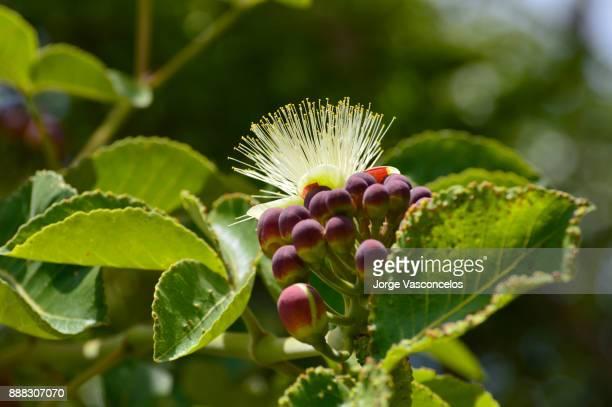 pequi flower 67 (caryocar brasiliense) - cerrado stock pictures, royalty-free photos & images