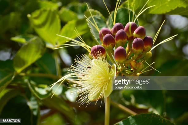 pequi flower 75 (caryocar brasiliense) - cerrado stock pictures, royalty-free photos & images