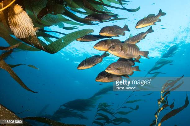 perch fish in kelp forest - perch fish stock pictures, royalty-free photos & images