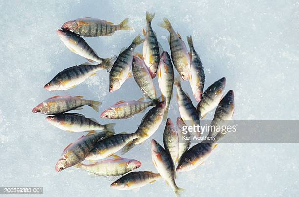 perch on ice, fish lake, washington, usa, overhead view - perch fish stock pictures, royalty-free photos & images