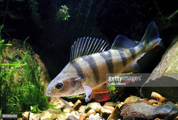 perch perca fluviatilis - perch fish stock pictures, royalty-free photos & images
