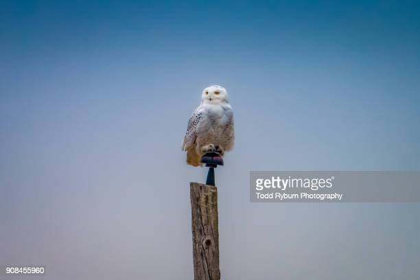perched and proud - snowy owl stock pictures, royalty-free photos & images