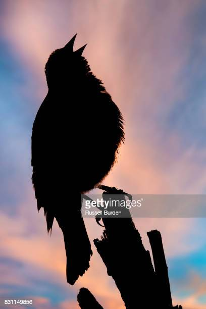 perched blackbird - birdsong stock pictures, royalty-free photos & images