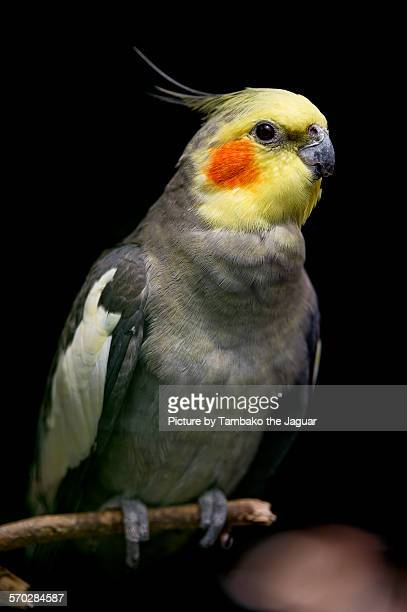 perched cockatiel - cockatiel stock pictures, royalty-free photos & images