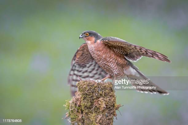 perched male sparrowhawk - sparrow hawk stock pictures, royalty-free photos & images