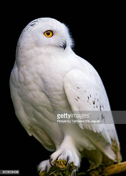 perched snowy owl - chouette blanche photos et images de collection