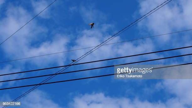 Perching and flying swallows and cables against blue sky