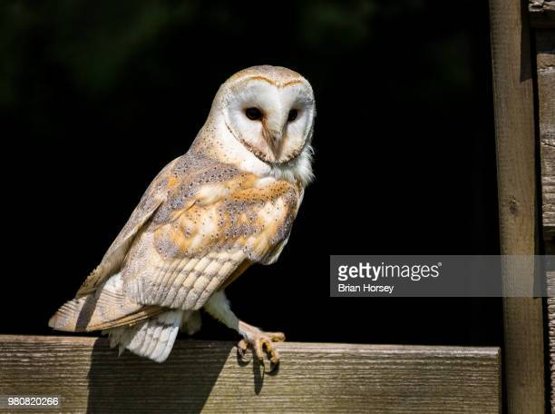 perching barn owl (tyto alba) - perching stock pictures, royalty-free photos & images