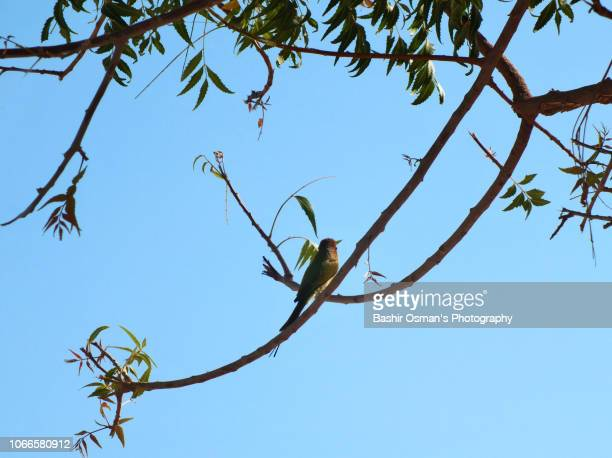 perching birds - neem tree stock pictures, royalty-free photos & images