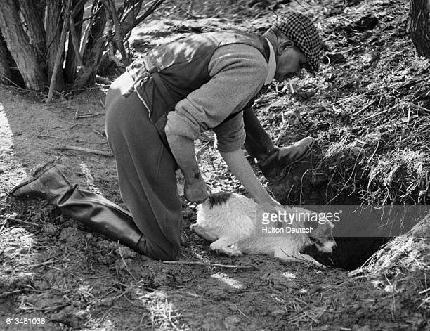 Percy Driver pushes one of his Jack Russell dogs into a badger's set The dog will locate and corner the badger and then return to the surface and...
