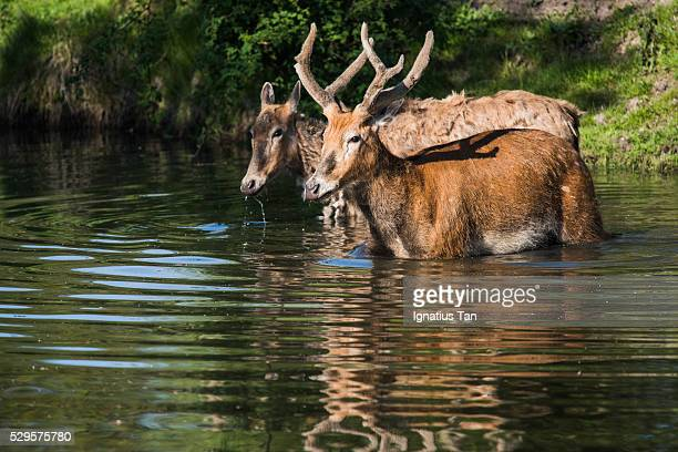 pere david's deer (milu) in the water - ignatius tan stock photos and pictures
